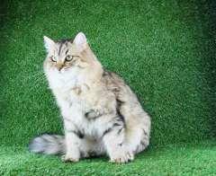 Sibérien - Kosmeia dostoyanie sibiri
