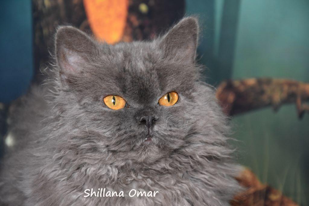 Selkirk Rex poil court et poil long - shillana Omar