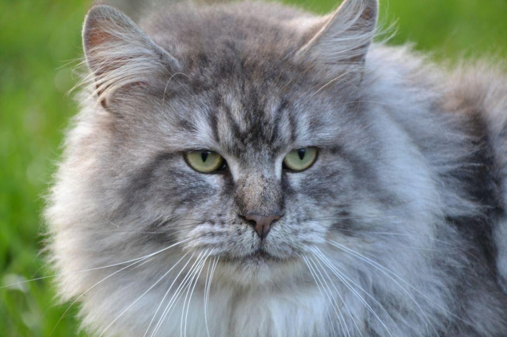 Maine Coon - Nimbe Des Lynx D'Amarine