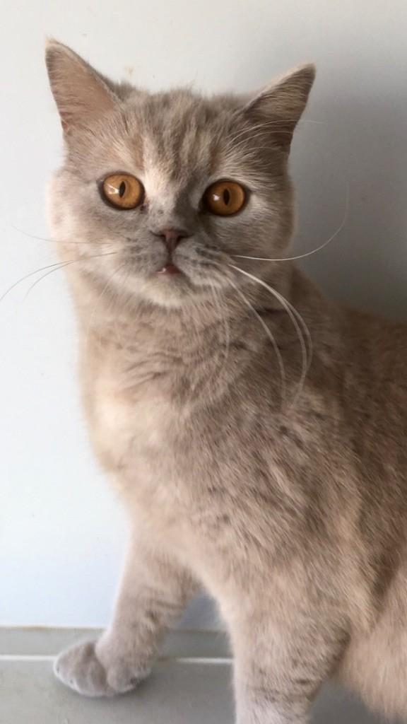 British Shorthair et Longhair - Prune Du Coeur Des Terres