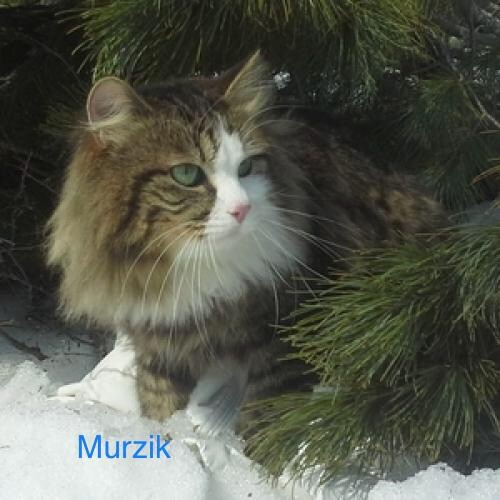 Sibérien - Murzik Sans Affixe