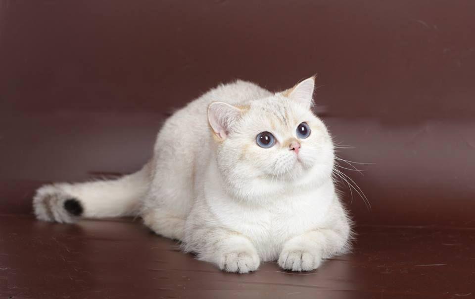 British Shorthair et Longhair - CH. fluffy cat's Romeo