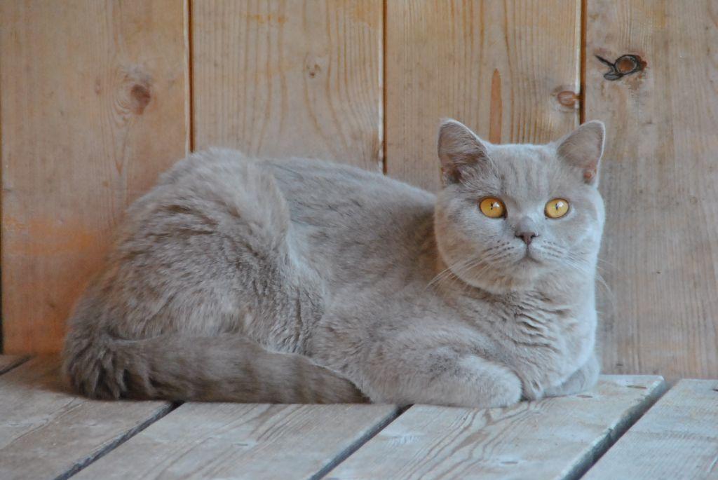 Les British Shorthair et Longhair de l'affixe de Gardia Altissima