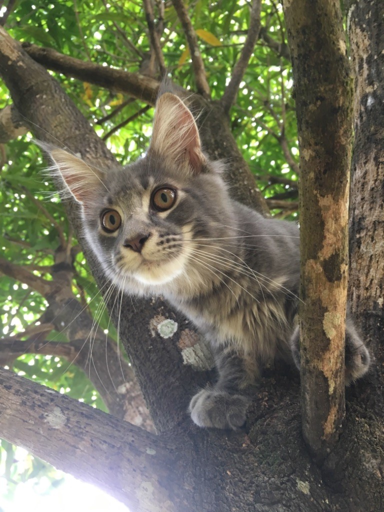 Maine Coon - Obelix Cute'Coons