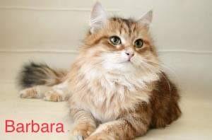 Sibérien - CH. Barbara vemas