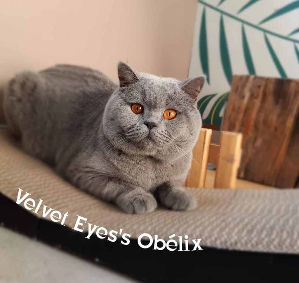 British Shorthair et Longhair - Velvet Eye's Obelix