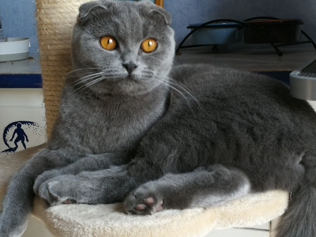 Les Scottish Fold de l'affixe Des Tendres Oursons