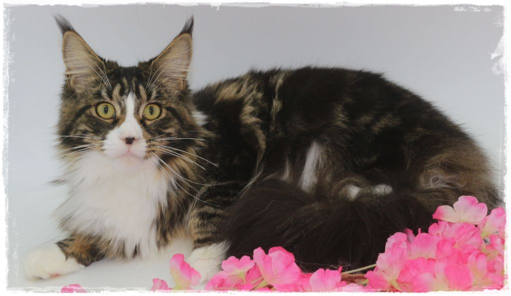 Maine Coon - CH. O bella ciao