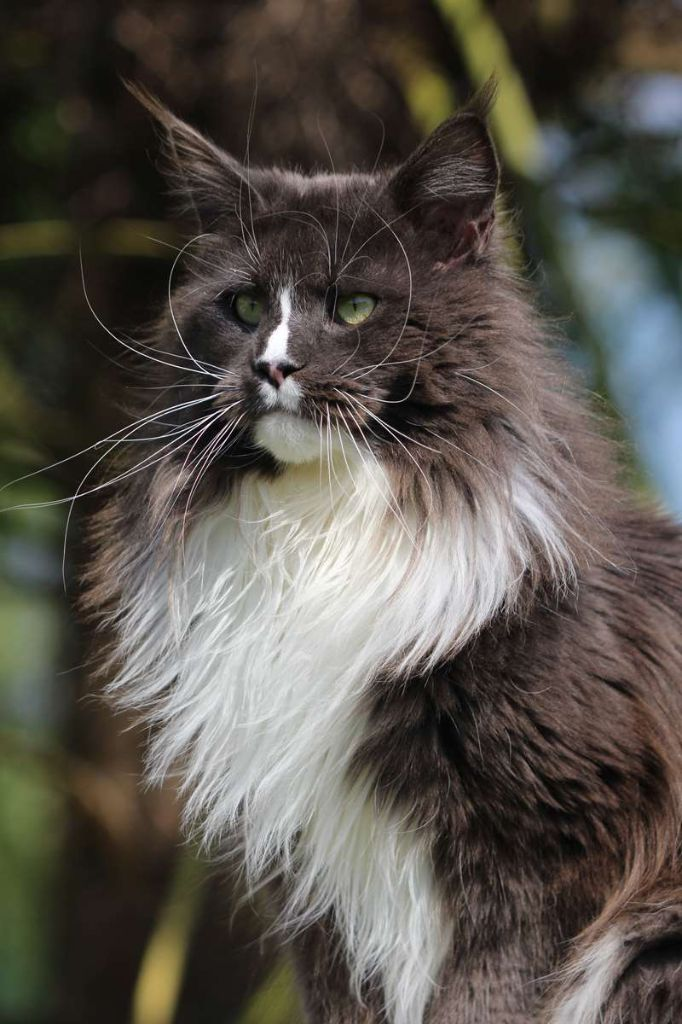 Maine Coon - big hannibal's Flying eagle
