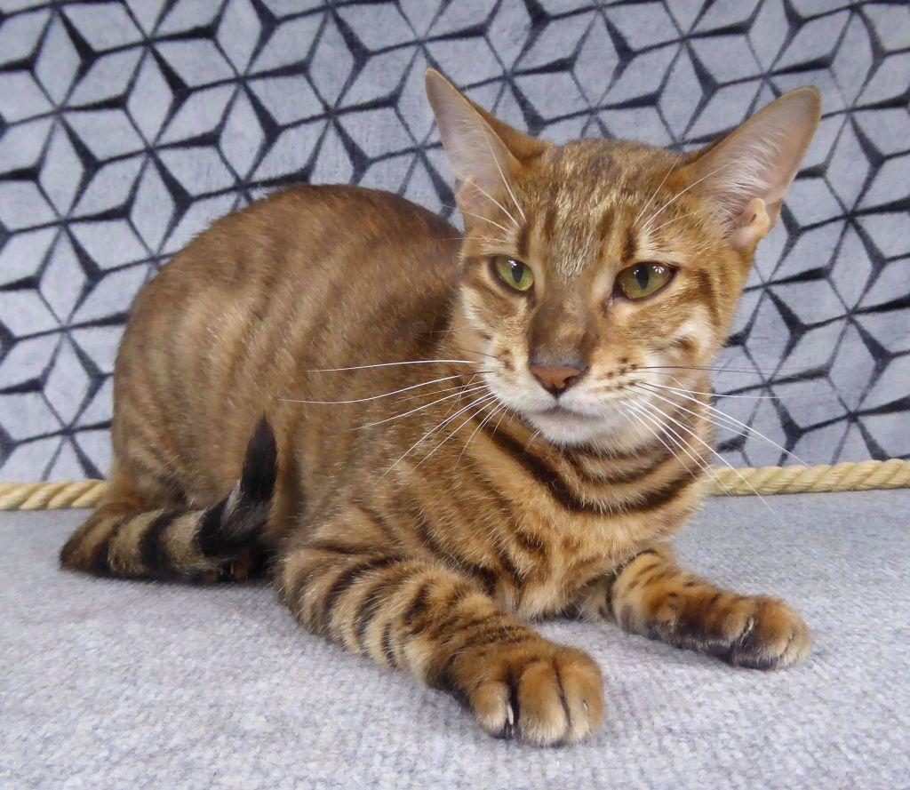 Toyger - Naya savane cat