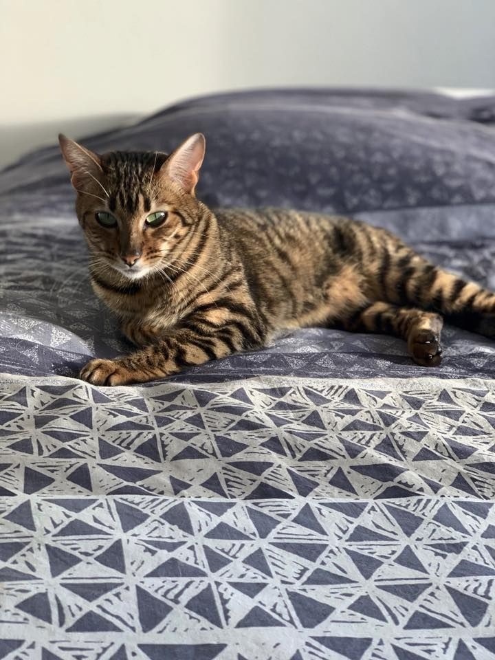 Toyger - Opale des toygers bellille