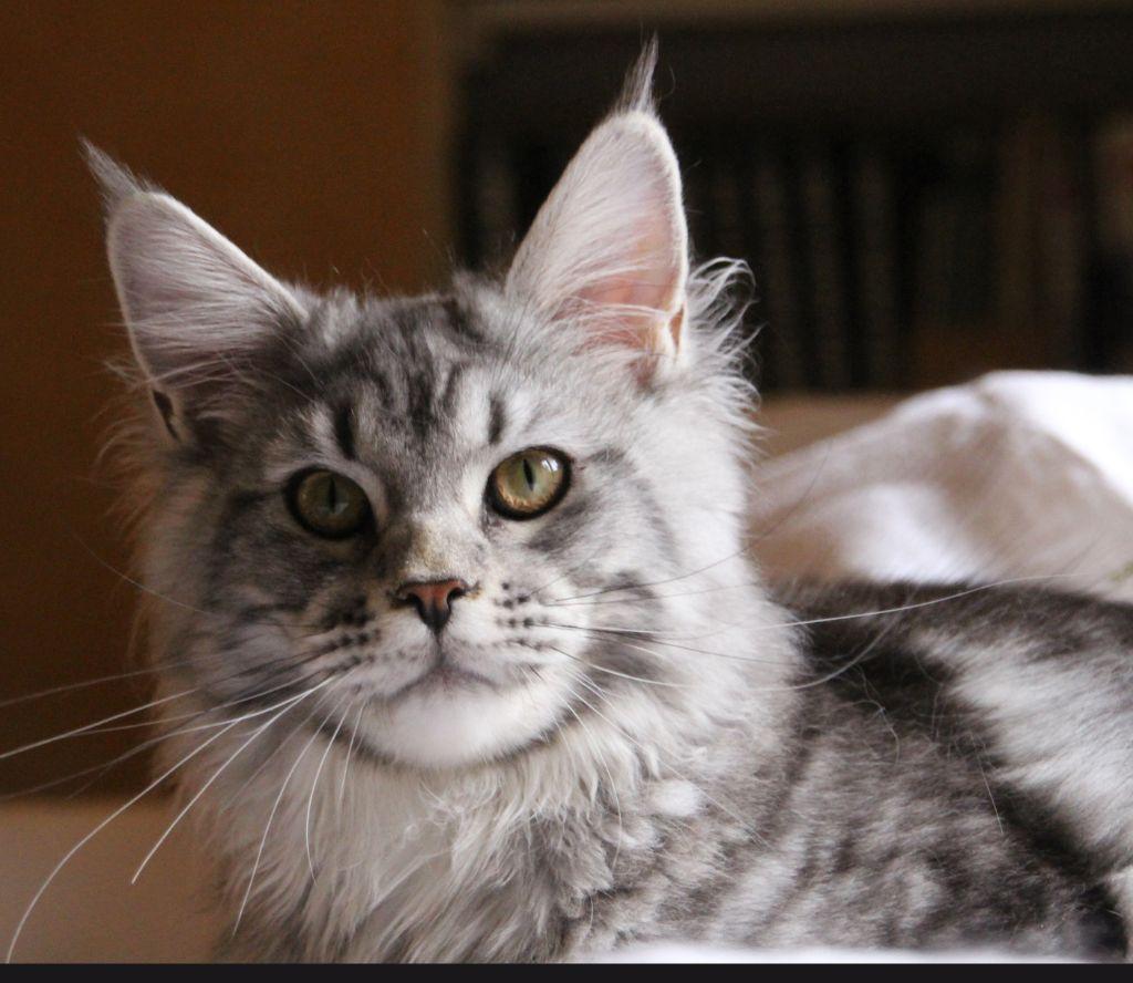 Maine Coon - Pretty cat Del Val Del Fort Cat's