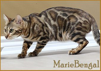 Bengal - marie bengal Gold n' ruch