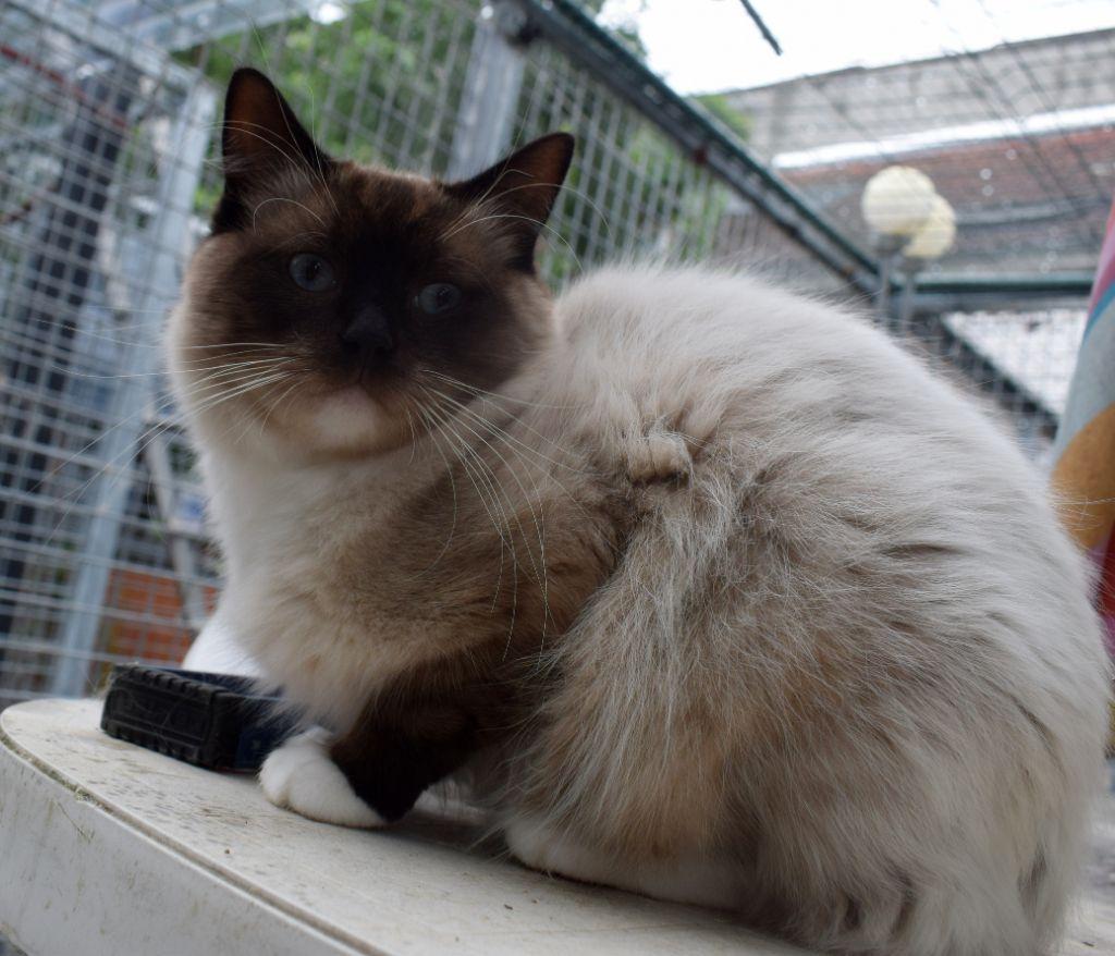 Ragdoll - Nakht de chat nuage