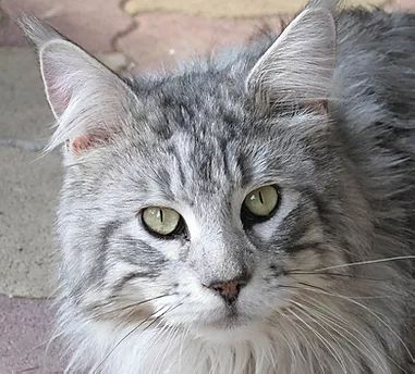 Maine Coon - Only you Du Serval