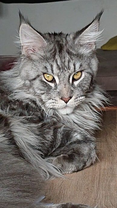 Maine Coon - Pantin Musketiere-Cat