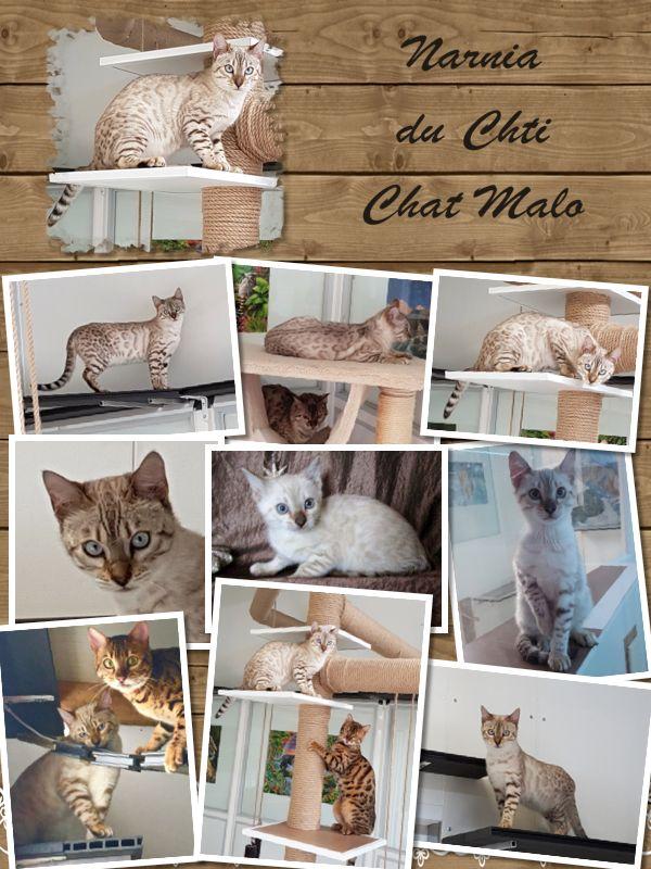 Narnia Du Chti Chat Malo