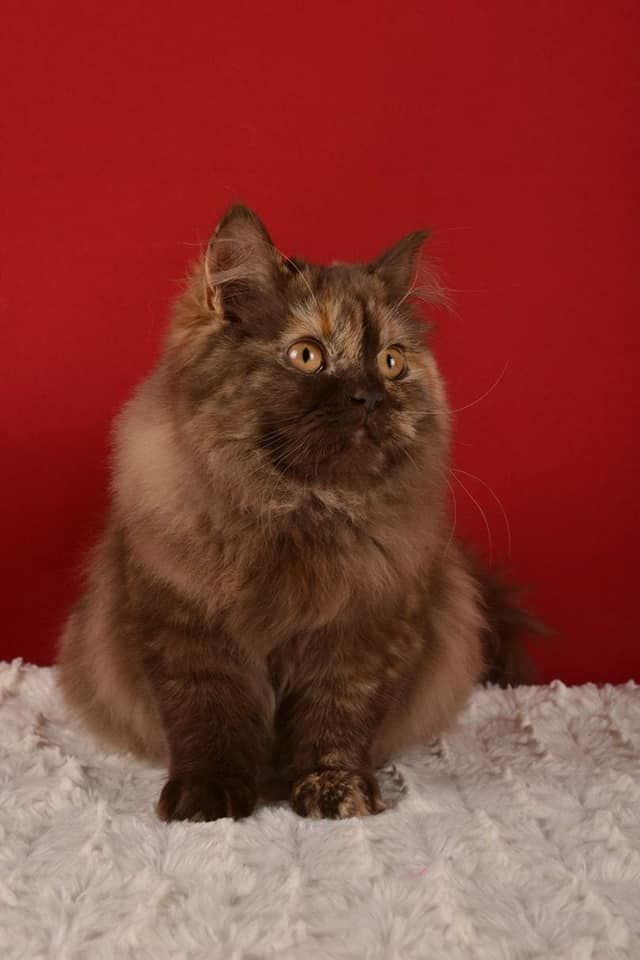 British Shorthair et Longhair - Secret Attitude Nikita