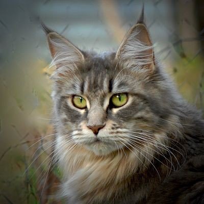 Maine Coon - All By My Coon's Nell