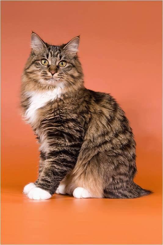 Kurilian Bobtail poil court et poil long - CH. gloria lynx Assol