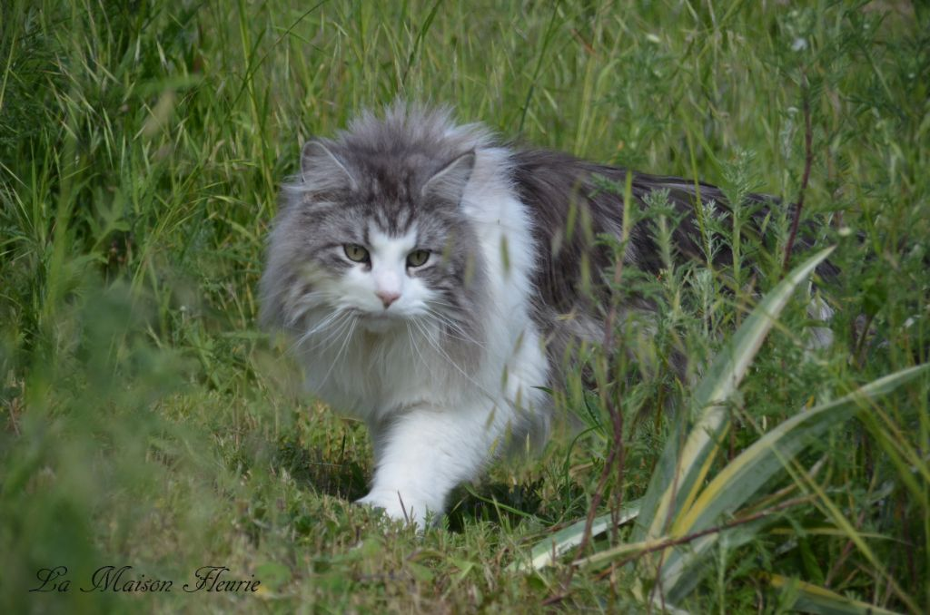 Maine Coon - the dorsai Sentella's syn