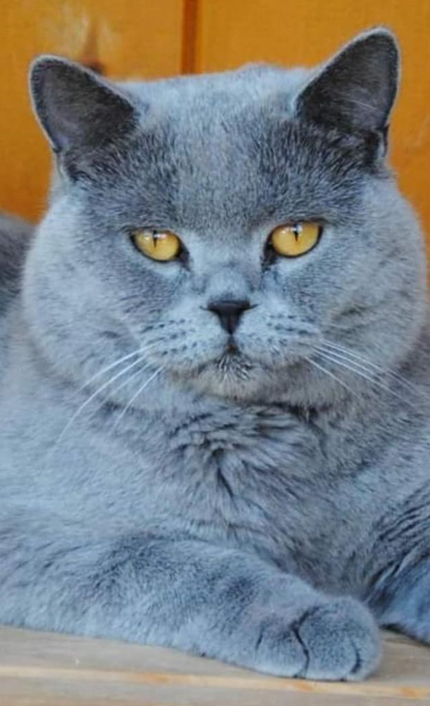 British Shorthair et Longhair - Baloo of royal candy cats