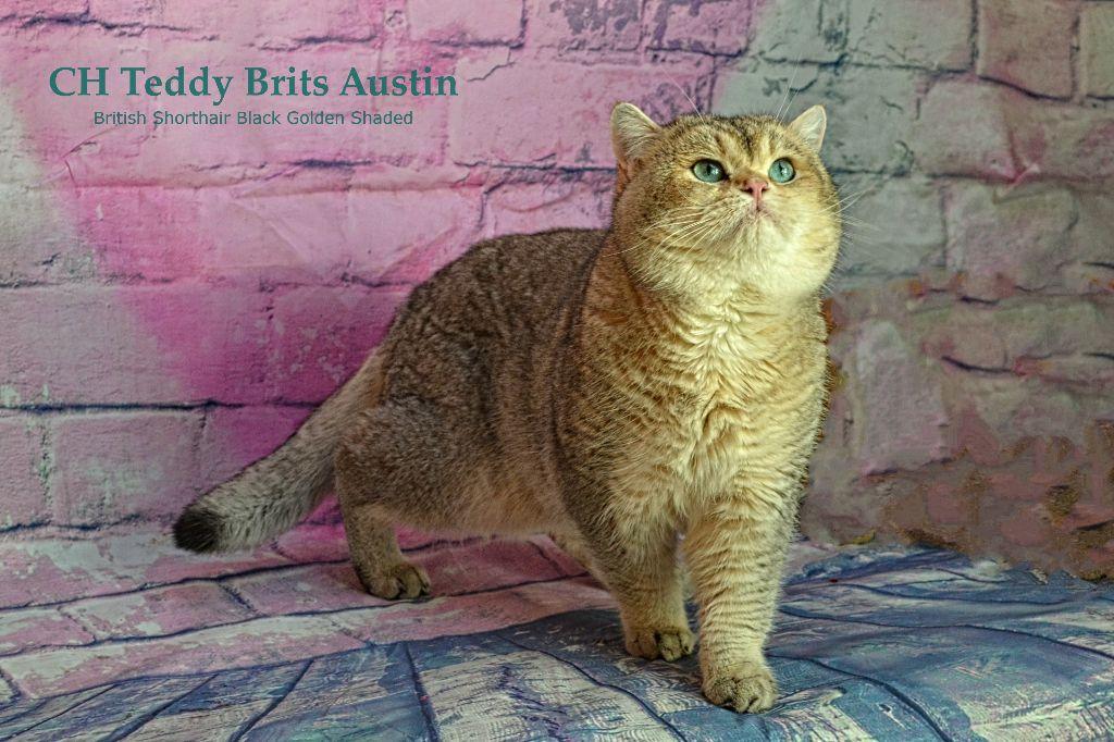 British Shorthair et Longhair - CH. Austin teddy brits