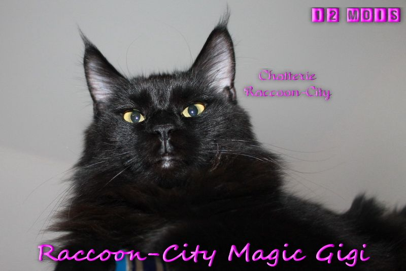 Maine Coon - Raccoon-city Magic gigi