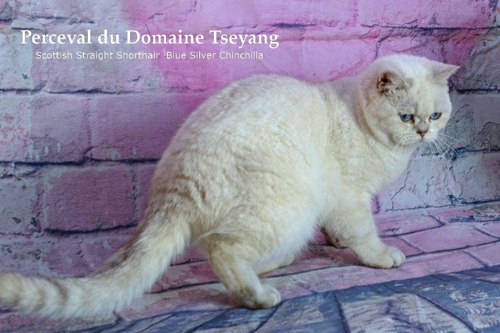 Les Scottish Fold de l'affixe Du Domaine Tseyang