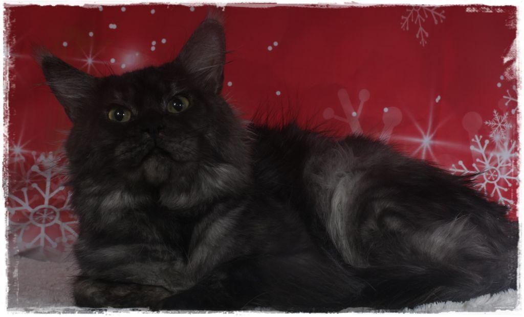 Maine Coon - gatto celesto Zodiac