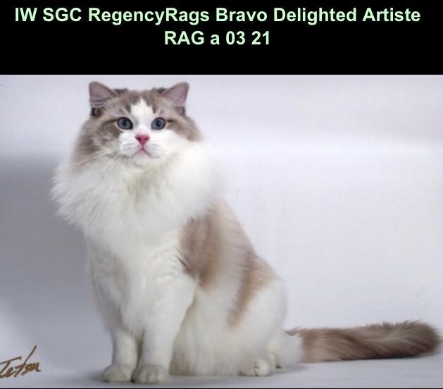 Ragdoll - regencyrags Bravo delighted artiste