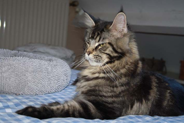 Maine Coon - Must Del Val Del Fort Cat's