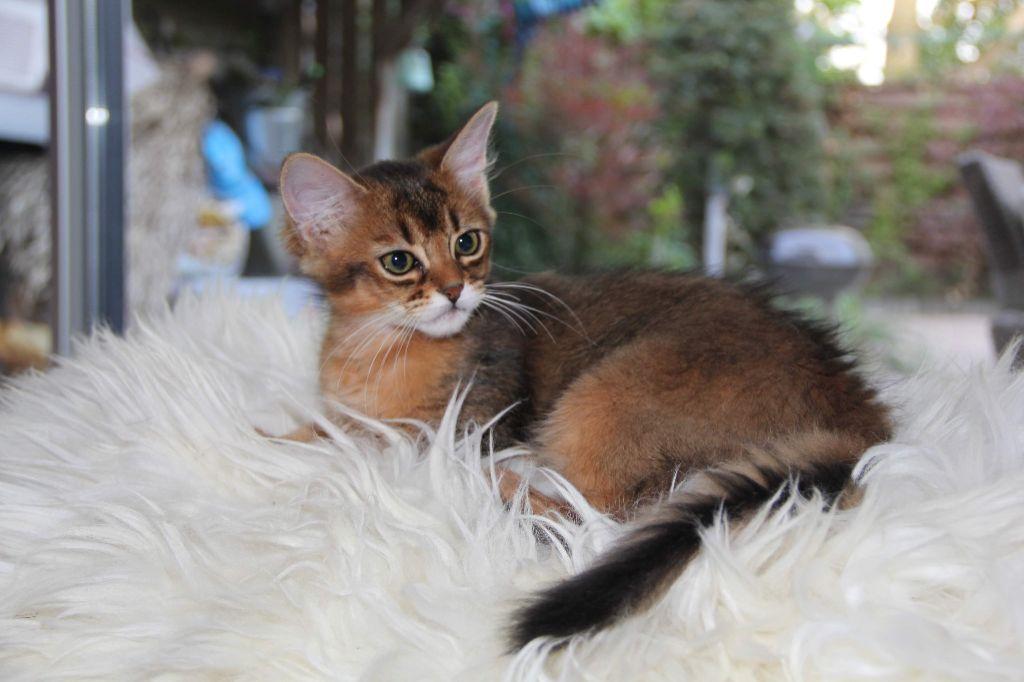 Somali - ferox Felinus selene