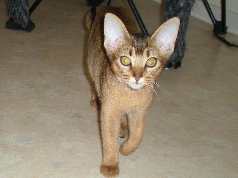 Abyssin - Darma des douceurs Felines