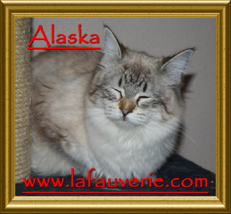 American Bobtail PC et PL - Alaska of bobtails usa