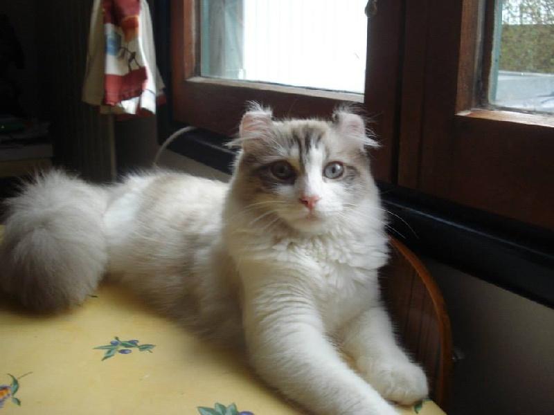 American Curl PC et PL - CH. Giminie de sweety kat's