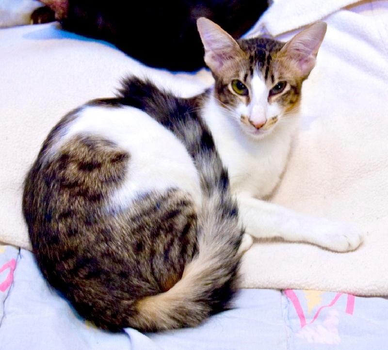 Balinais - chat de nacre's Ebone