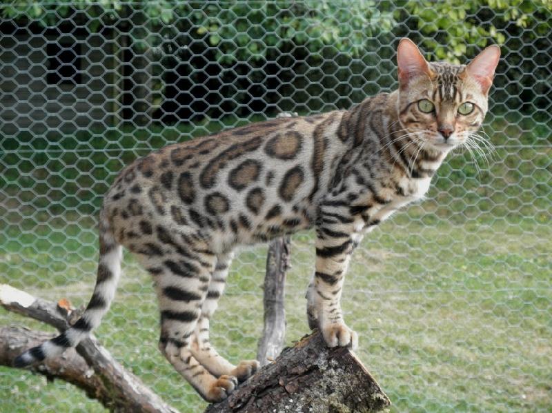 cantley chat La chatterie friso ouvre ses portes: un rêve, une passion nous aurons le plaisir de vous faire découvrir le «selkirk rex» un chat exceptionnel et très rare au québec.