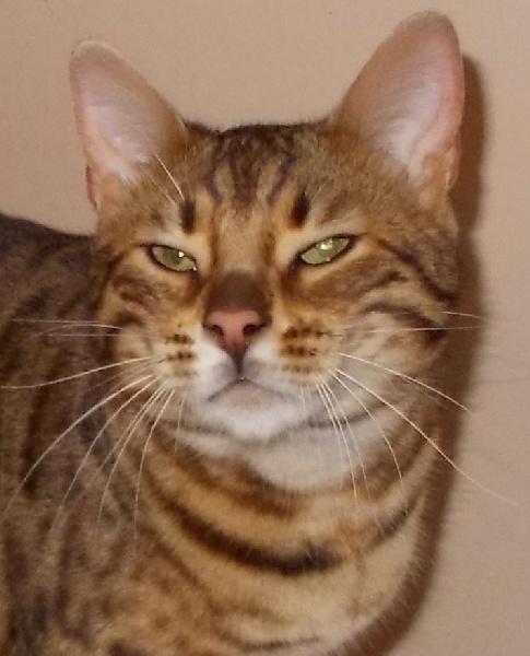 Bengal - CH. Ivan le terrible un, deux; trois, cats