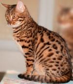 Bengal - Hella De Johnson's Cats