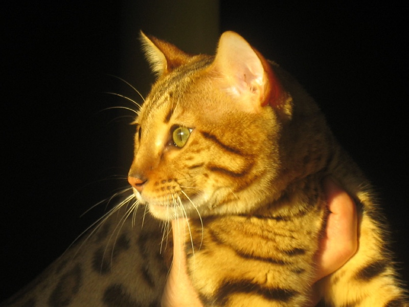 Bengal - CH. hilltopbengals DOMINO of Divine Idylle