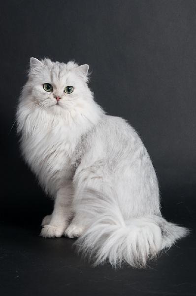 British Shorthair et Longhair - CH. Galante blanche du cedre enchante
