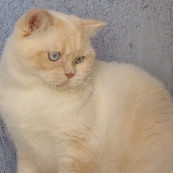 British Shorthair et Longhair - Sweet Burgandy's Fast and furious