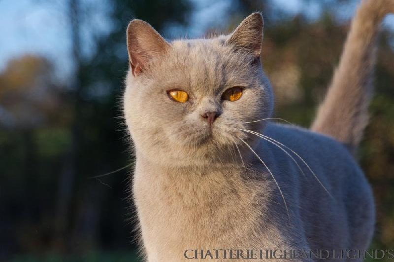 British Shorthair et Longhair - CH. Highland Legends Bérénice  Championne du Monde