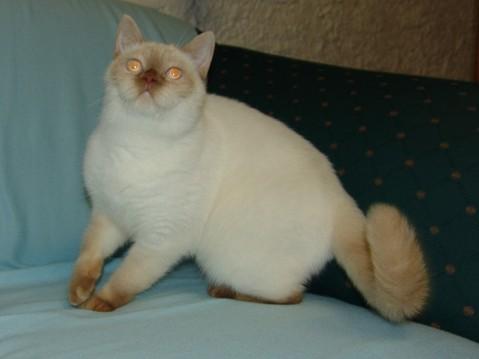 British Shorthair et Longhair - Sweet Burgandy's Emo kawai