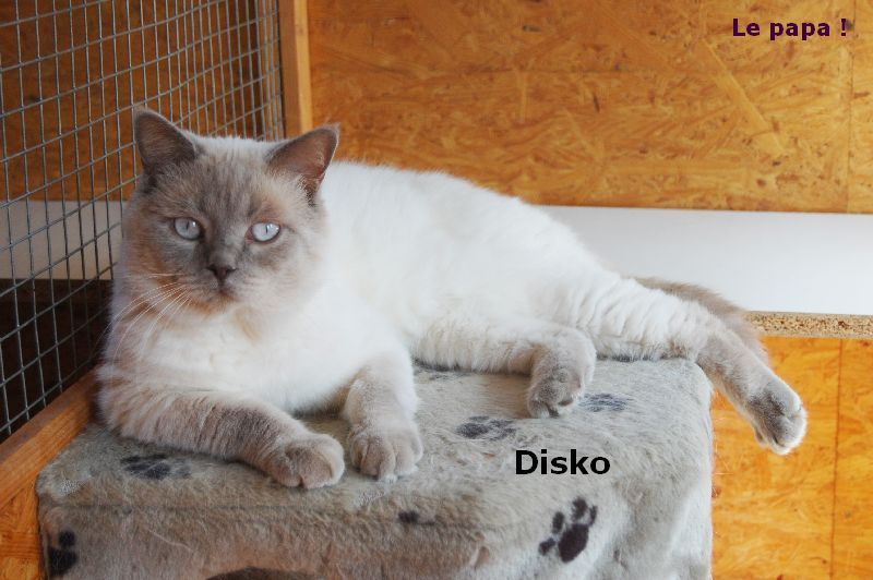 British Shorthair et Longhair - Disco de cat's hart