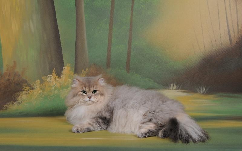 British Shorthair et Longhair - CH. Eblumoon du cedre enchante
