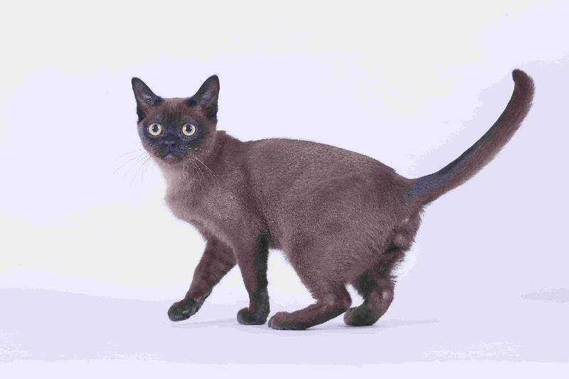 Burmese Americain - Inferno The Cats Love
