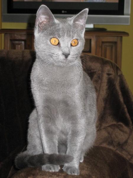 Chartreux - Elfie des Chats Bleus