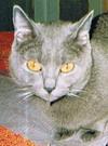 Chartreux - Taffy de fasel